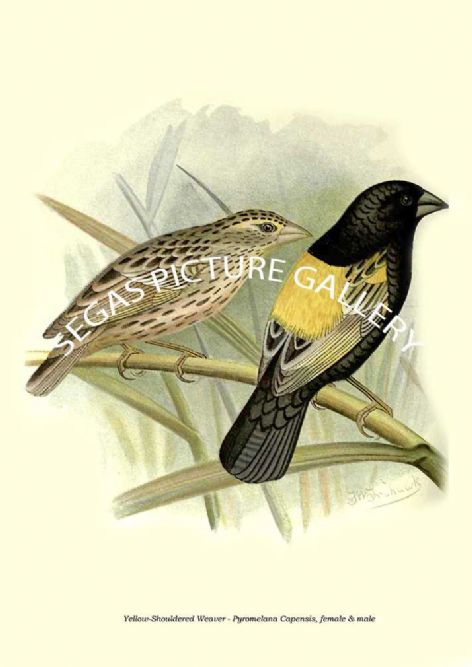 Fine art print of the Yellow-Shouldered Weaver - Pyromelana Capensis, female & male by the Artist Frederick William Frohawk (1899)